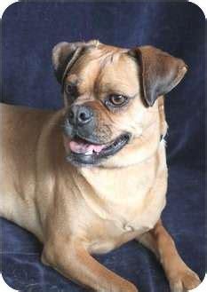 wichita pug rescue scooter adopted wichita ks pug beagle mix