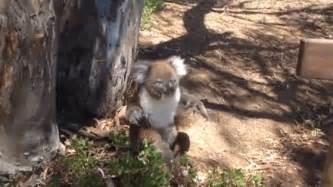 Metto Koala image gallery screaming koala