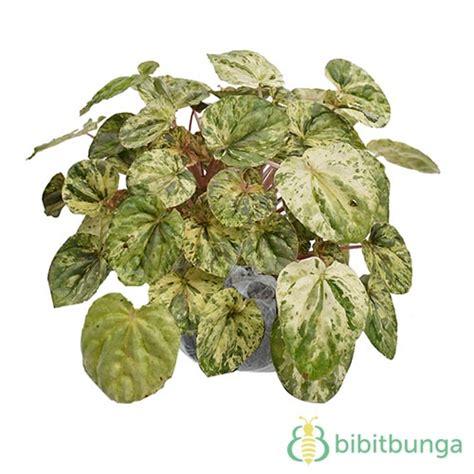 Bibit Tanaman Begonia Apem Merah tanaman begonia childhood variegata bibitbunga