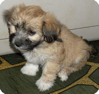 shih tzu and havanese mix basil adopted puppy belvidere il havanese shih tzu mix