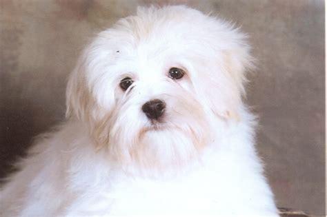 lowchen puppies lowchen breed information on lowchens