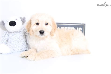 goldendoodle puppy behavior graham goldendoodle puppy for sale near ft myers sw