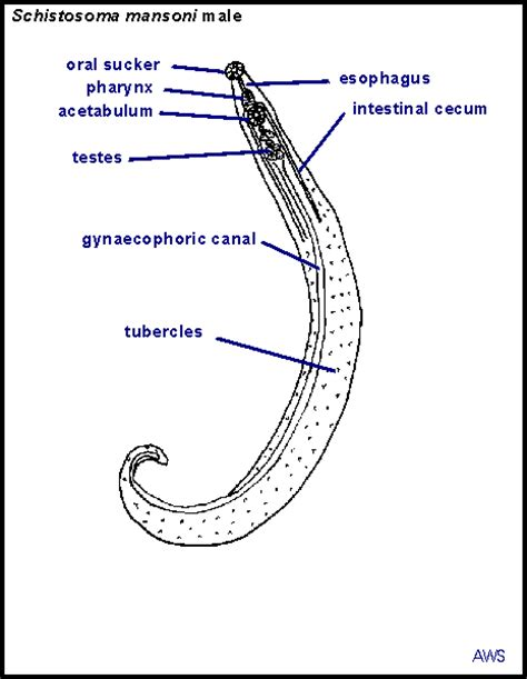 labelled diagram of ascaris image gallery schistosoma labeled