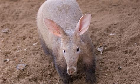 anecdotal aardvark 100 anecdotal aardvark cerebus the aardvark the