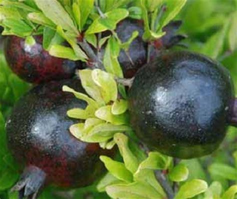 Bibit Cherry Suriname tanaman delima hitam black pomegranate jual tanaman