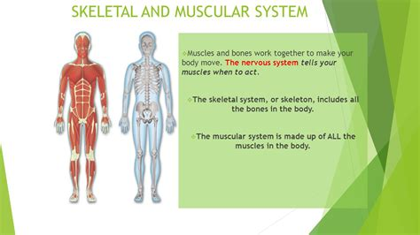 A Tour Of Your Muscular And Skeletal Systems fcat 2 0 science review ppt