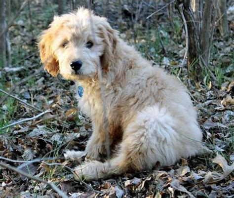 goldendoodle puppy chewing 739 best images about oodles of goldendoodles on
