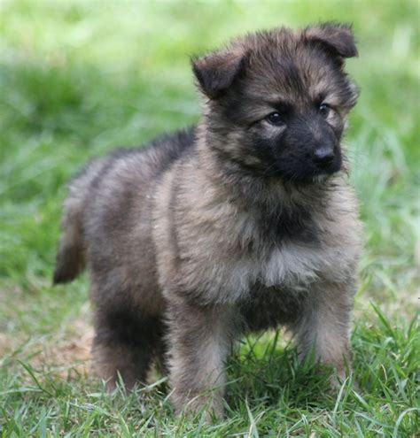 haired german shepherd puppies coat german shepherd puppies crymych pembrokeshire pets4homes