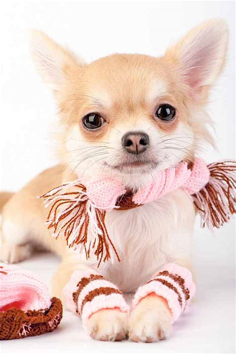 chihuahua puppy names chihuahua names big names for the