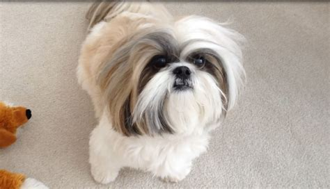 shih tzu rate shih tzu looks without topknot