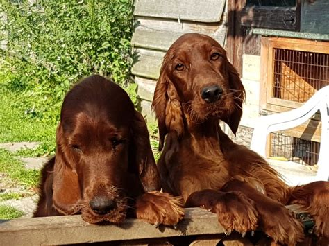 irish setter dog breeders for sale pedigree irish setter puppies for sale emsworth