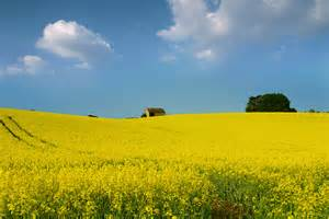 Field Barn Park Rapeseed Field Barn Cotswold Uk Spring Has Been Quite