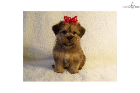 shiffon puppies brussels griffon puppy for sale near st louis missouri de8c2fca d701
