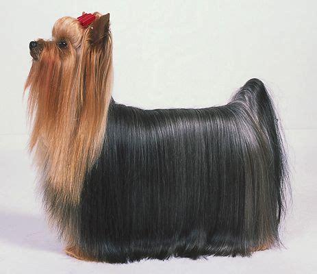 akc yorkie terriers le standard de la race akc para dummies
