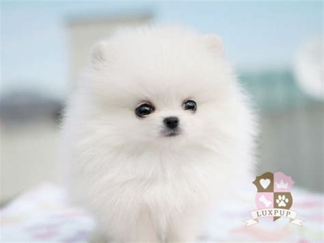 pomeranian weight pomeranian on hold