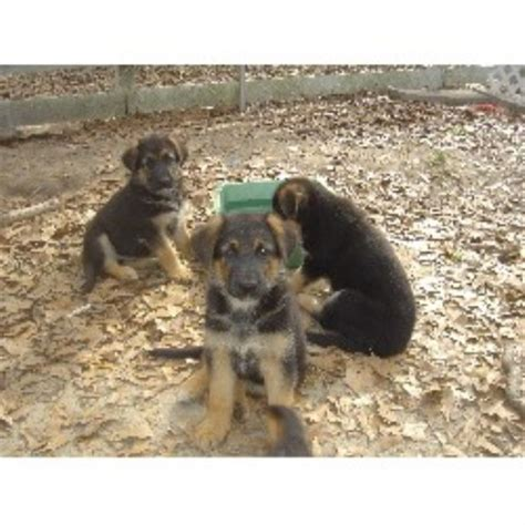 puppies for sale in panama city fl german shepherd puppies for sale in panama city florida breeds picture