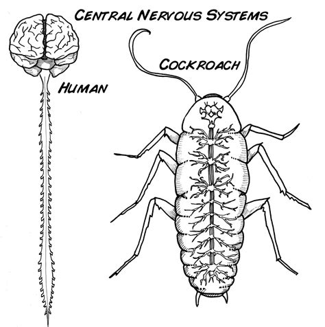 Nervous System Coloring Page Coloring Pages Ideas Nervous System Coloring Pages