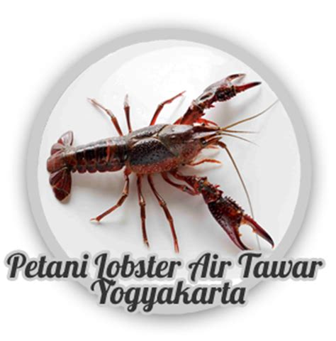 Ukuran Bibit Lobster Air Tawar petani lobster air tawar yogyakarta