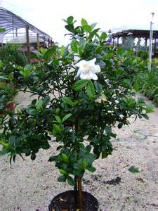 buy tree buy gardenia trees for sale in orlando kissimmee
