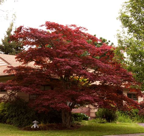 maple tree east black japanese maple acer palmatum nigrum back yard ideas japanese maple acer