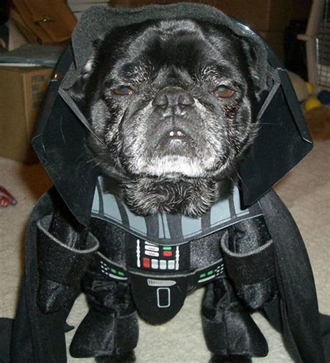 pug in darth vader costume darth vader pictures of animals