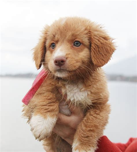 toller puppies duck tolling retriever puppies 12 by kayababe on deviantart