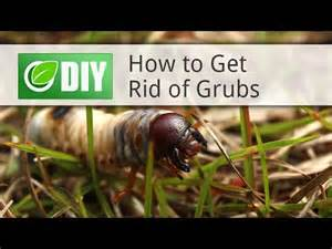how to get rid of grubs youtube