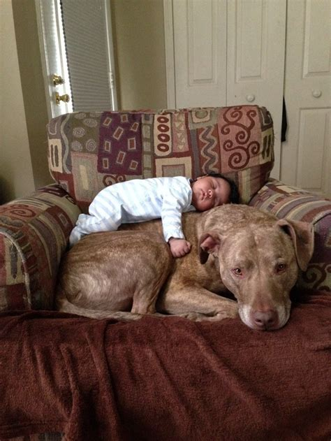 the best pit 20 pit bulls that the best ways to cuddle photos