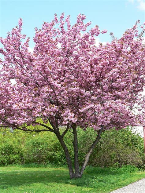 tot bloei komende boom  de lente stock afbeelding