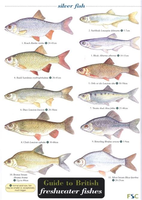 freshwater fish freshwater fish chart www imgkid com the image kid has it