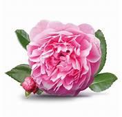 Damask Rose Bulgaria National Flower  Wallpapers9