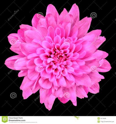 Blakc Reddish Flower S M L 44398 pink chrysanthemum flower isolated black stock photo image 19770636