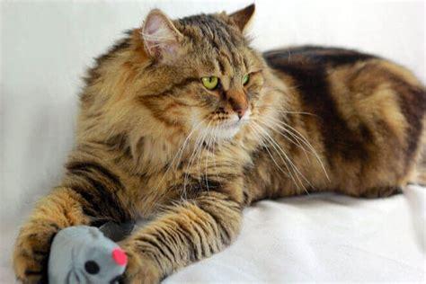 alimentazione gatto siberiano gatto siberiano carattere informazioni sui gatti