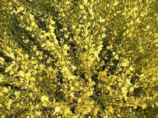 Arbuste Fleurs Jaunes Qui Fleurit Printemps by Arbuste Fleurs Jaunes Qui Fleurit Printemps