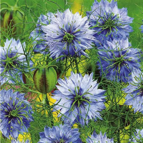 love   mist seeds  jekyll nigella seeds