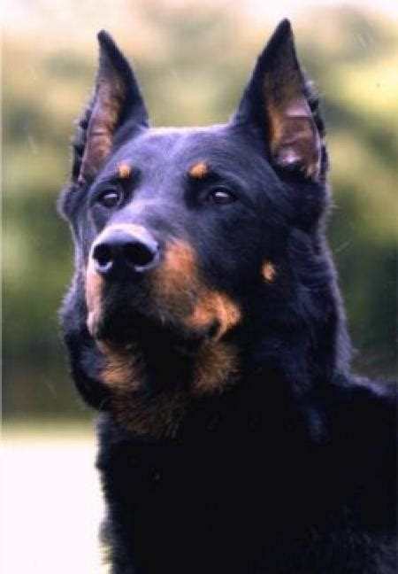 beauceron puppies beauceron images dogbreedworld