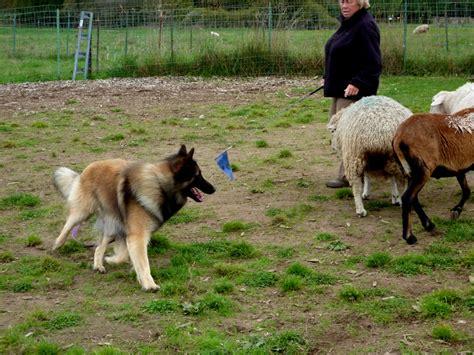 herding breeds herding breeds home types