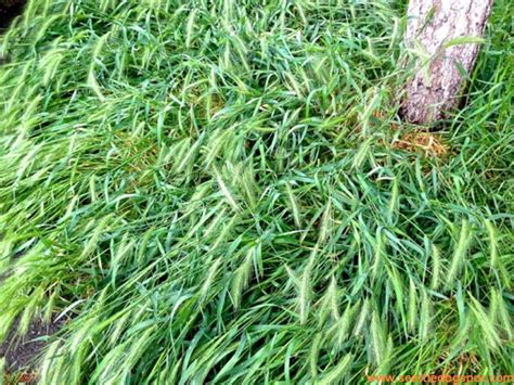 foxtail awns danger did you know that foxtail grass can kill your dog pet tips daily
