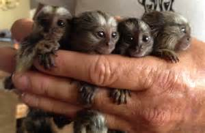 squirrel marmoset and capuchin monkeys for sale text 318 389 1655