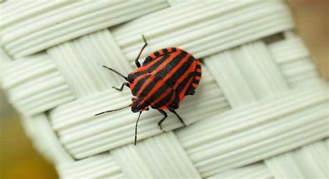 How Are Bed Bugs Spread by How Fast Do Bed Bugs Spread In Your Place 6 Steps