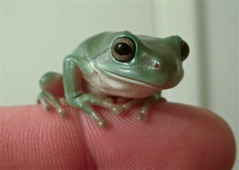 1000 images about white tree frog on pinterest new
