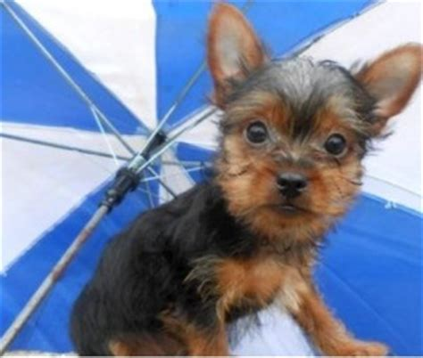 affordable teacup yorkies cheap teacup yorkie puppies for adoption miami fl asnclassifieds