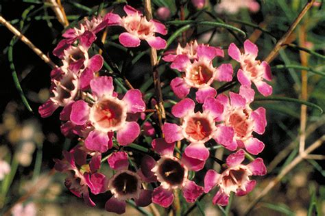 Red Flower Shrub - chamelaucium uncinatum
