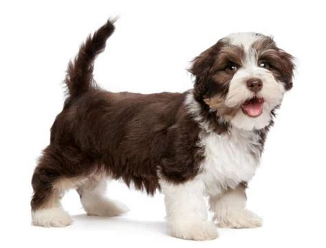 havanese food havanese breed information facts pictures temperament and characteristics