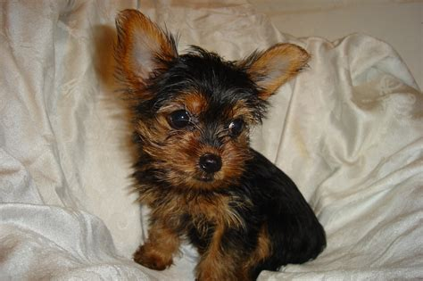 yorkies florida cbs dallas fort worth