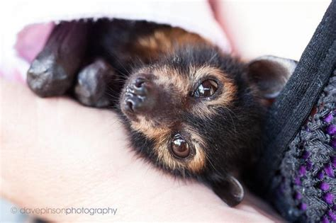 cute baby flying fox bat spectacled flying fox baby so cute animals that rock