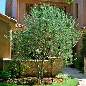 swan hill fruitless olive trees pinterest