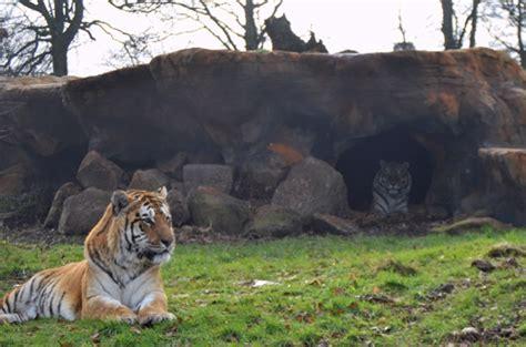 tigers explore new enclosure blair drummond safari park