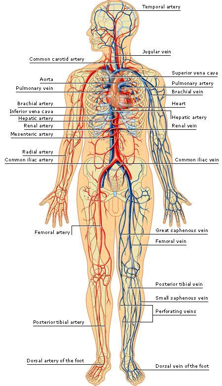 Vein And Artery Detox by Arteries And Veins Of The Human Arteries Inside The