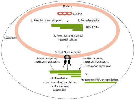 p protein hbv prospects for inhibiting the post transcriptional